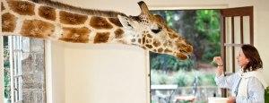giraffe-manor3