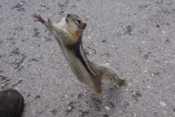 ground squirrel 1