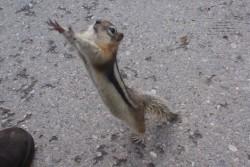 ground squirrel 1