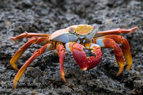 sally lightfood crab-014
