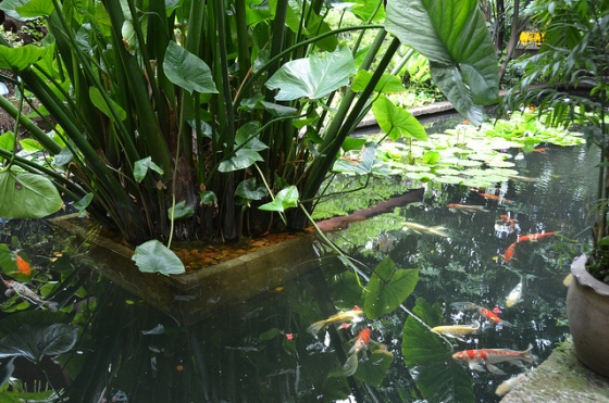 jim thompson house koi pond
