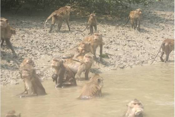 swimming monkeys2