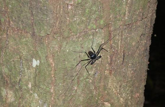 Honduras Scorpian Spider