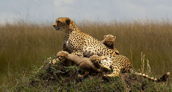 1280px-Cheetah_with_cubs